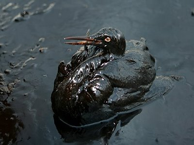 Korea oil spill bird